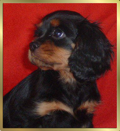 Black and Tan Cavalier King Charles Spaniel Early Dream's Xenia
